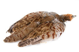 English Partridge Skin