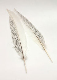 H.S.C. Silver Pheasant Secondary Tail Feather Pair - EXTRA SELECT